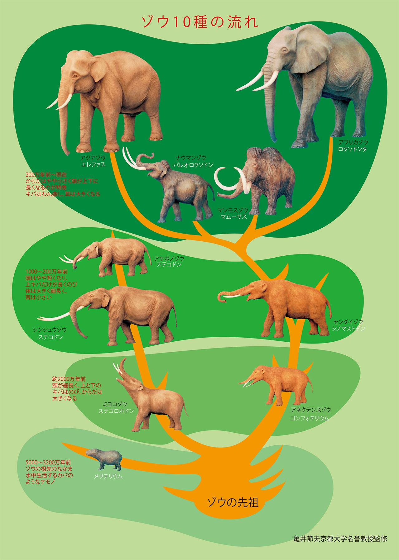 ゾウ10種の流れ