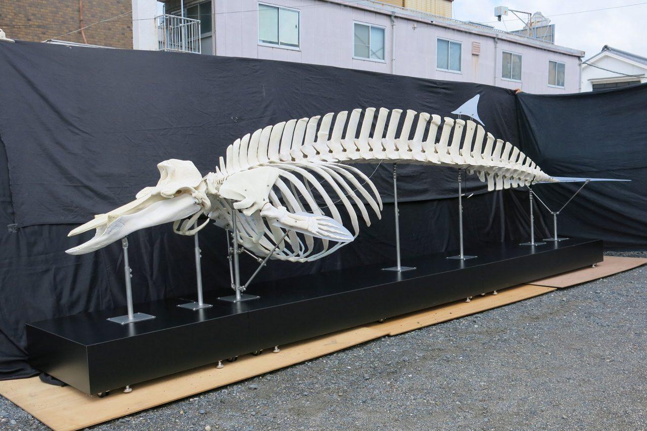 イチョウハクジラ