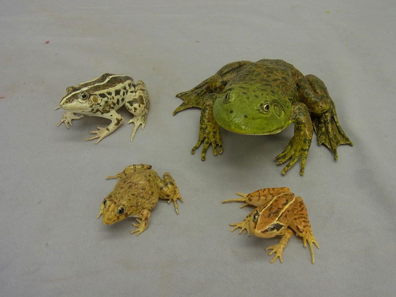 カエル四種