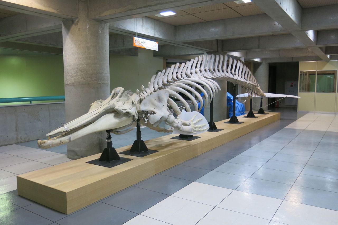 ツチクジラ